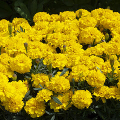 Marigold Happy Yellow