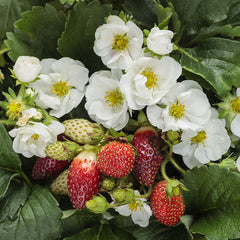 Strawberry Summer Breeze White
