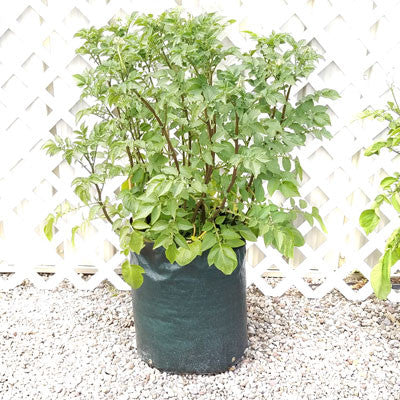 Potato Planter 3 Pack