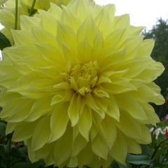 Dahlia Kelvin Floodlight