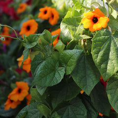 Thunbergia Susie Orange