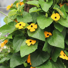 Thunbergia Susie Yellow
