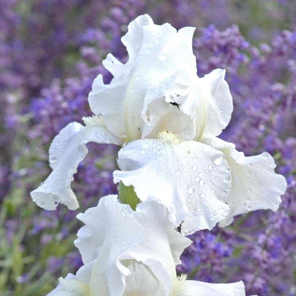 Iris Immortality