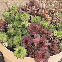 Sempervivum Assortment