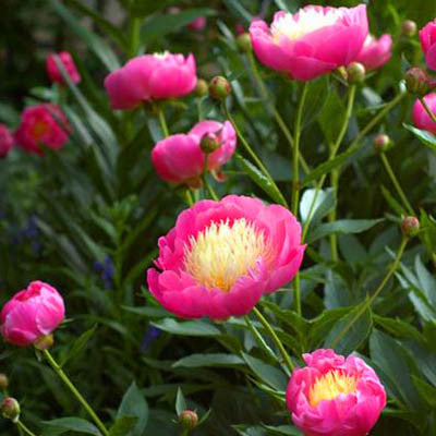 Spring Peony Bowl Of Beauty