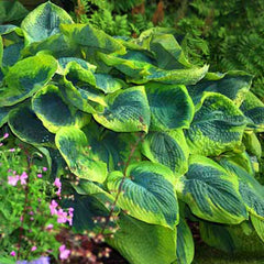Hosta Frances William