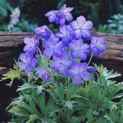 Geranium Cranesbill Johnsons Blue