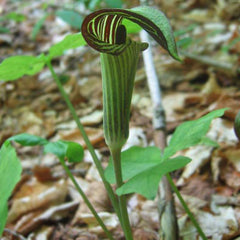 Arisaema Triphyllum Jack In Pulpit