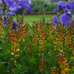 Baptisia Decadence Cherries Jubilee