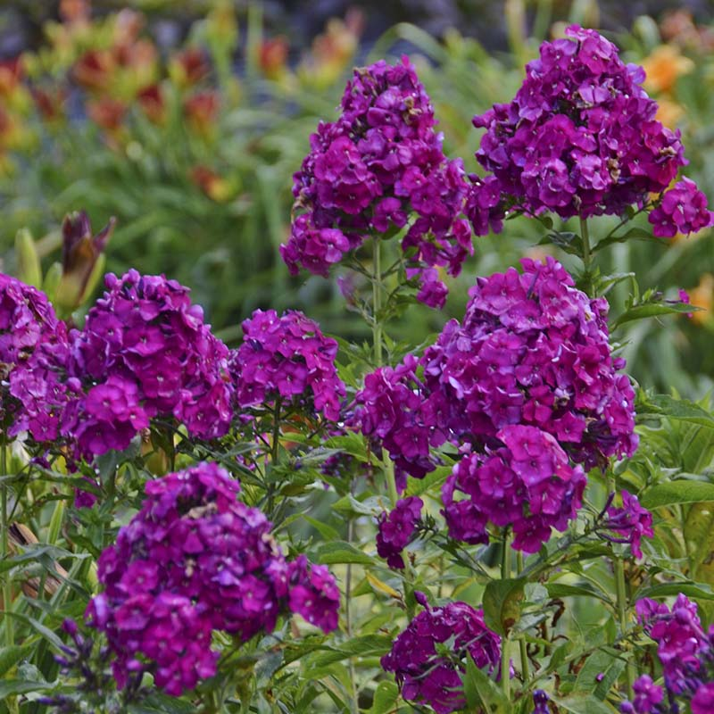 Phlox Pan Nicky