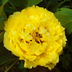 Tree Peony High Noon