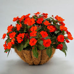 Impatiens SunPatiens Compact Electric Orange (18)