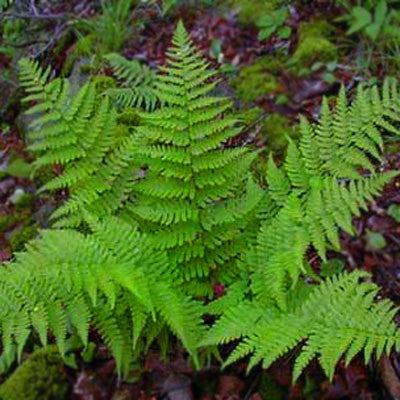 Fern Dryopteris Leatherwood