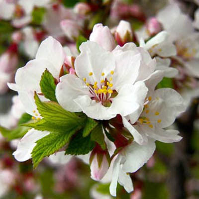 Prunus Nanking Cherry