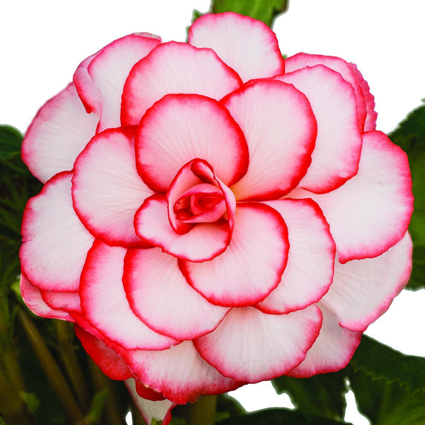 Begonia Picotee White/Red