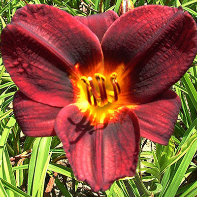 Hemerocallis Prelude To Love