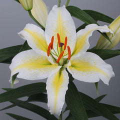 Lily Spectacle