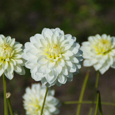 Search results harris seeds dahlia karma serenakarma serena is a serenely lovely white 5 flower with lime yellow centers the karma series dahlia is particularly well suited for mightylinksfo