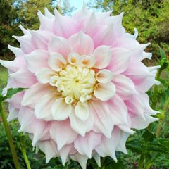 Dahlia Strawberry Ice