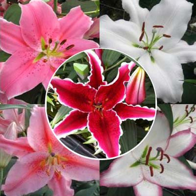 Lily Oriental Collection