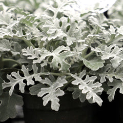 Dusty Miller Quicksilver