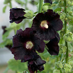 Alcea Blacknight