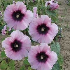 Alcea Halo Candy