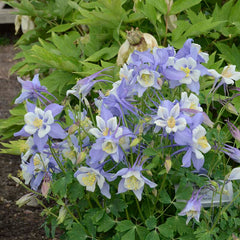 Aquilegia Songbird Blue Bird