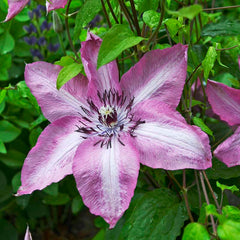 Clematis Earthquake