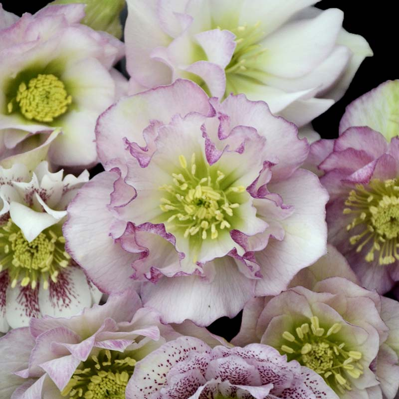 Helleborus Wedding Party Flower Girl