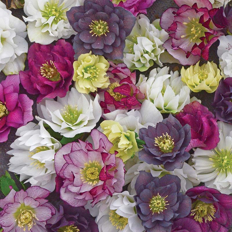 Helleborus Wedding Party Mixed