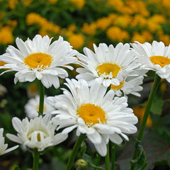 Leucanthemum Thomas Killen