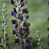 Baptisia Decadence Dark Chocolate
