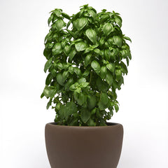 Basil Everleaf Emerald Towers