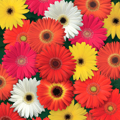 Gerbera Colorbloom Mix