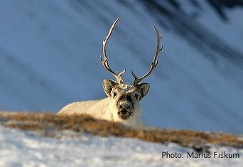 Reindeer are shrinking on Svalbard