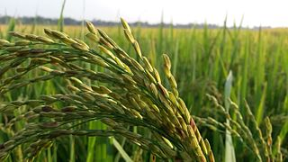 Asian rice oryza sativa