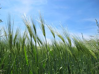Common barley