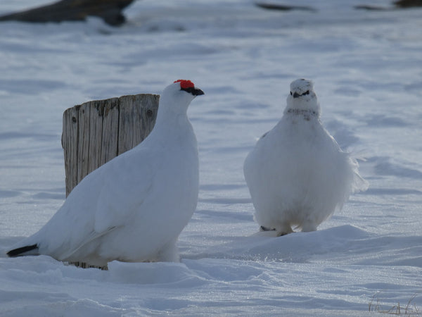Svalbard ptarmigan or rype in snow and winter colors