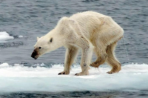 Thin polar bear said to be old, ill, or starving seen in Svalbard population