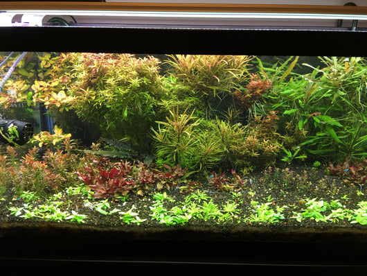 Medium-High Tech Plant Packages - Rice Family Aquatics