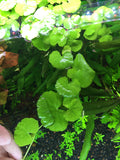 Brazilian Pennywort - Rice Family Aquatics