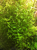 Rotala Rotundifolia - Rice Family Aquatics
