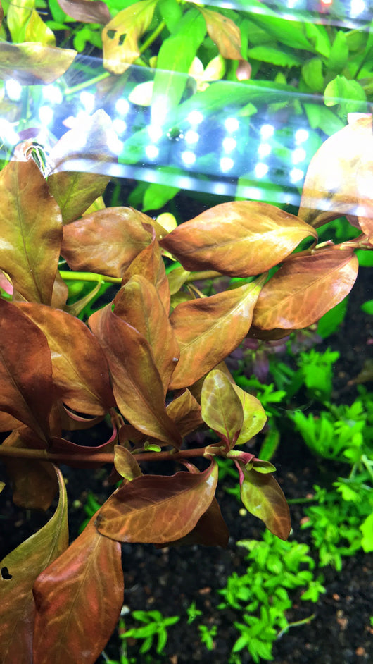 Ludwigia Atlantis - Rice Family Aquatics