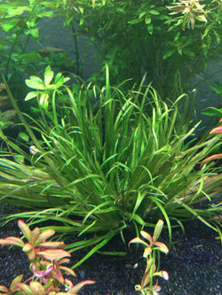 Blyxa japonica - Rice Family Aquatics