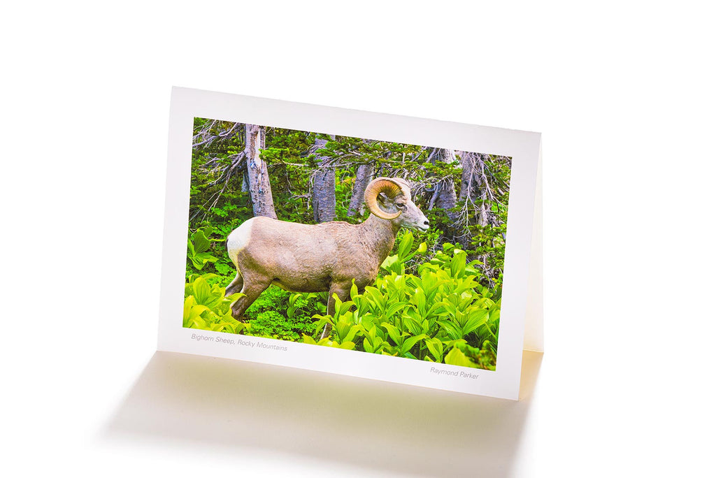Bighorn Sheep, Rocky Mountains (Greeting Card)