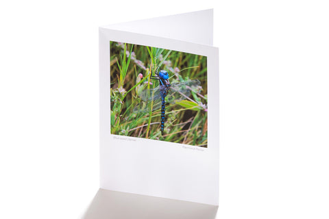 Blue-eyed Darner (Greeting Card)