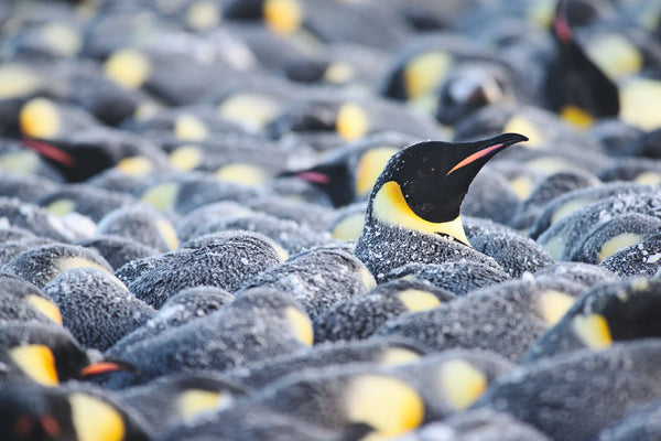 🐧 5 Priceless Penguin Facts about Emperor Fathers 🐧