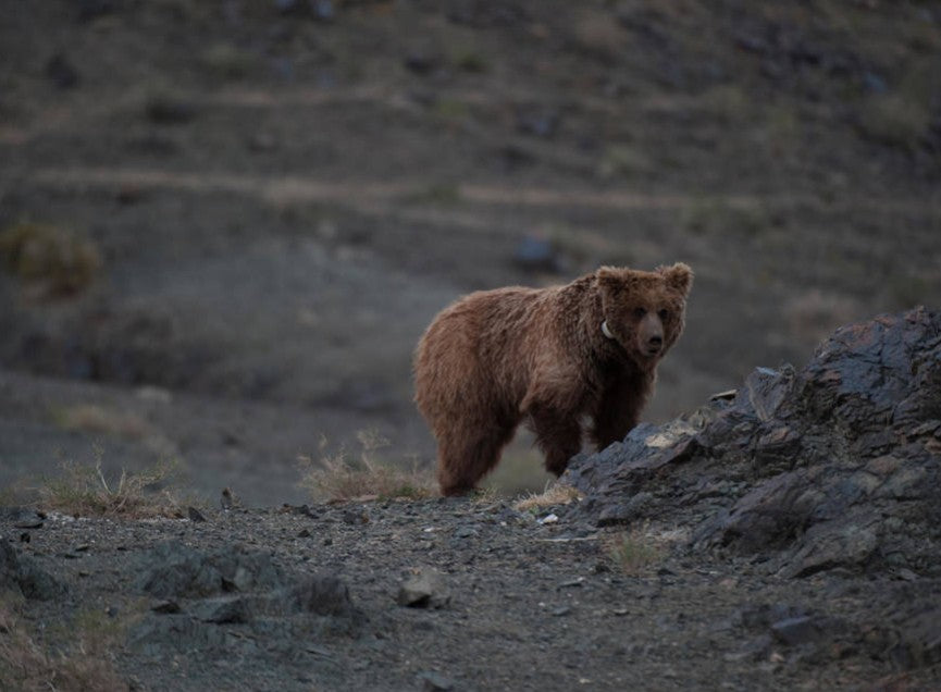 Endangered Creature Future: The Gobi Bear