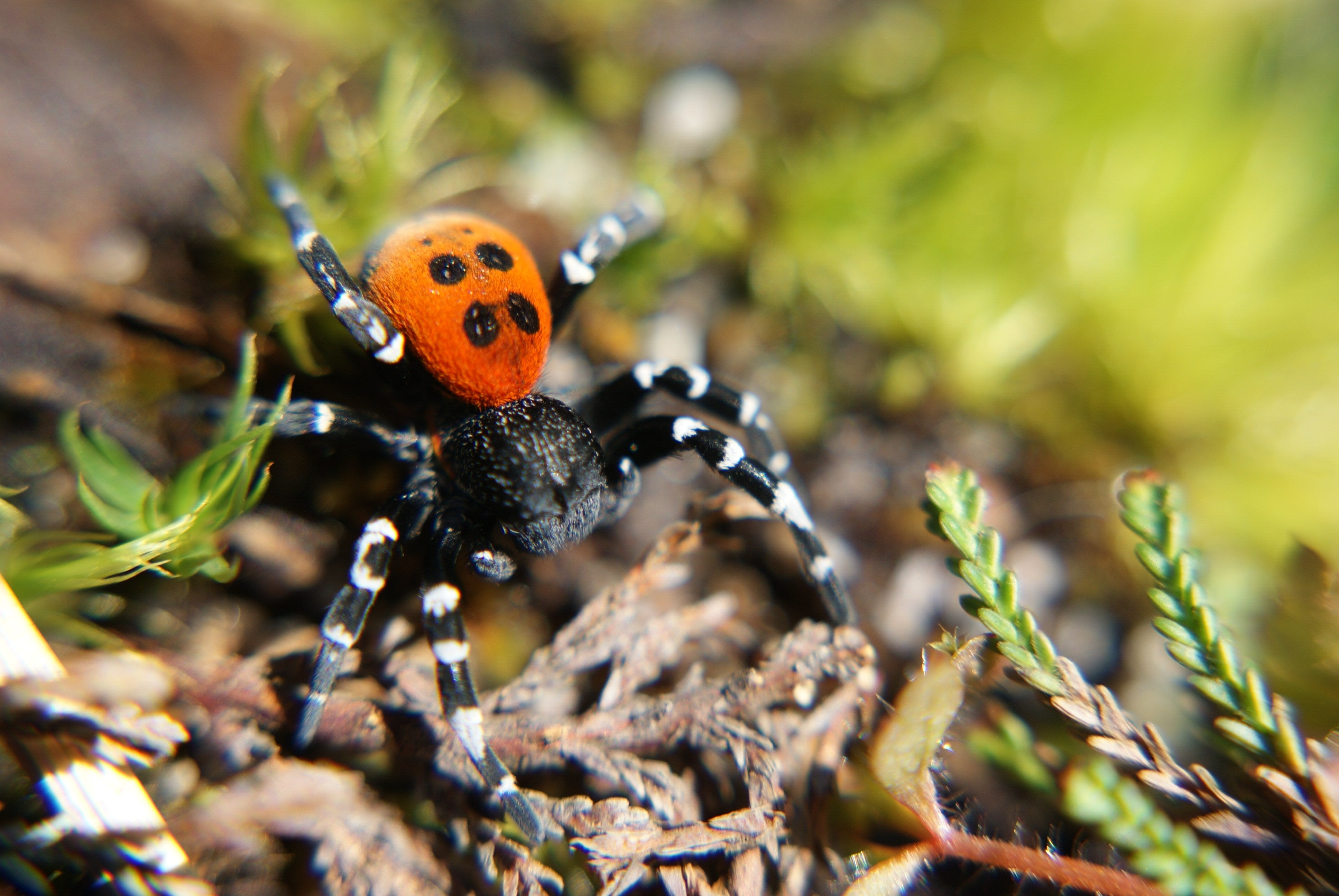 Endangered Feature Creature The Ladybird Spider Eco Kids Planet